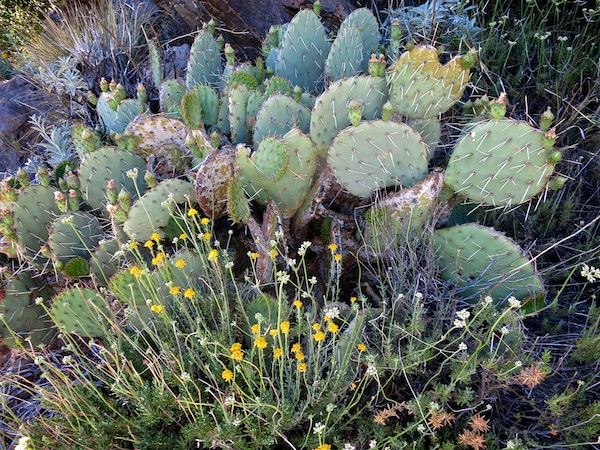 Cactus and wildflowers on the PCT near Burnt Rancheria
