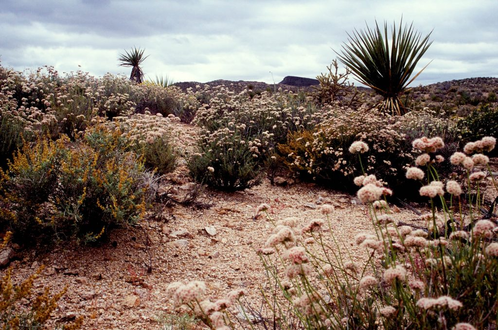 Plants on the Mojave Road